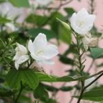 White orchid-tree/ モクワンジュ 花の様子