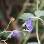 Blue mist spiraea / カリガネソウ 花の様子