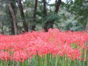Red spider lily/ ヒガンバナ まだ若い花の様子
