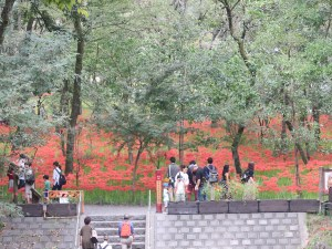 Red spider lily/ ヒガンバナ 巾着田の遠景