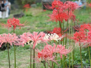 Red spider lily/ ヒガンバナ 赤、ピンク、白の花の様子