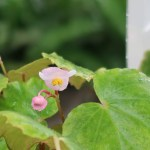 Begonia laciniata var. formosana/ マルヤマシュウカイドウ 花の様子