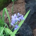 Blue flies/ アリステア エクロニー 花の咲いている様子