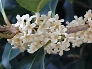 Tea olive/ ギンモクセイ 花の姿