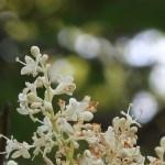 Japanese tree lilac/ ハシドイ 花の様子