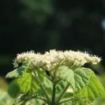 Linden viburnum ガマズミ 花の様子