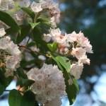 Mountain-laurel カルミア 花の咲いている様子