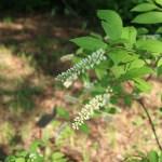 Virginia sweetspire/ コバノズイナ 花の咲いている様子