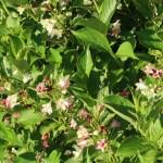 Weigela coraeensis var. fragransニオイウツギ 花の咲いている様子