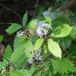 Nettle-leaved hydrangea/ コアジサイ 花の咲いている様子