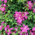 Clematis クレマチス 花の様子