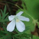 Meadow crane's-bill/ ノハラフウロ 花の様子(白花)