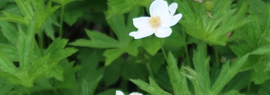 Meadow anemone/ メドウ・アネモネ