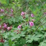 Bigroot geranium/ ゲラニウム・マクロリズム 花の咲いている様子