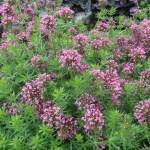 Caucasian crosswort / ハナクルマバソウ 花の咲いている様子
