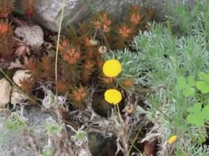 Tassel Flower/ ベニニガナ 花の様子
