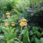 Candelabra primrose / キバナクリンソウ 花の咲いている様子