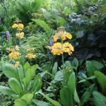 Candelabra primrose / キバナクリンソウ 花の様子