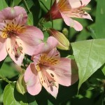 Alstroemeria/ アルストロメリア 花の様子