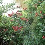 Peruvian lily/ ユリズイセン 花の咲いている様子