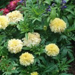 African marigold/ アフリカン・マリーゴールド 花の様子