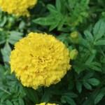 African marigold/ アフリカン・マリーゴールド 花の姿
