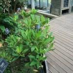 Kandelia/ メヒルギ 花の咲いている木の様子