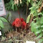Indonesian wax ginger / マツカサジンジャー 花の咲いている様子