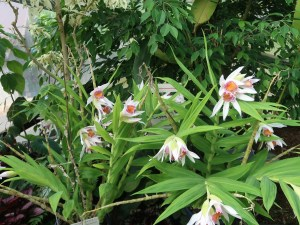 Thunia/ ツニア Thu. brymeriana ツニア・ブリメリアナ 花の咲いている様子
