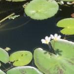 Water snowflake/ ガガブタ 花の咲いている様子
