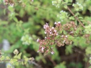 Cretan oregano ポットマジョラム 花の咲いている様子