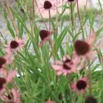 Tennessee coneflower/ テネシーコーンフラワー 花の咲いている様子