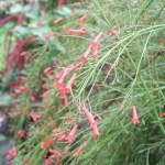 Firecracker Plant/ ハナチョウジ 花の咲いている様子
