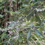Taiwanese chastetree/ タイワンニンジンボク 花の咲いている様子