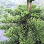 Norfolk Island pine / ノーフォークマツ 木(葉)の様子