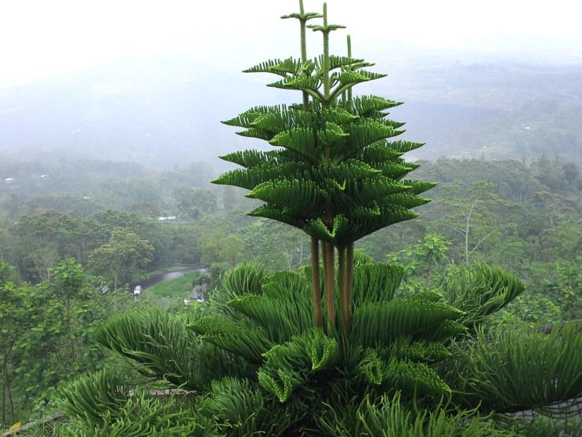 Norfolk Island pine / ノーフォークマツ