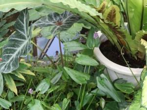 Pickerelweed/ ナガバミズアオイ 花の咲いている様子