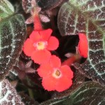 Flame violet/ エピスキア・クプレアタ 花の姿