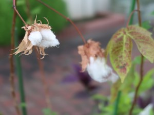 Extra-long staple (ELS) cotton/ カイトウメン 実の様子