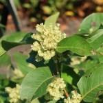 Reynoutria japonica var. hachidyoensis ハチジョウイタドリ 花の咲いている様子