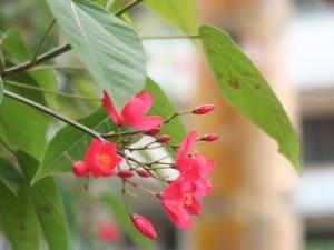 Peregrina/ テイキンザクラ 花の様子