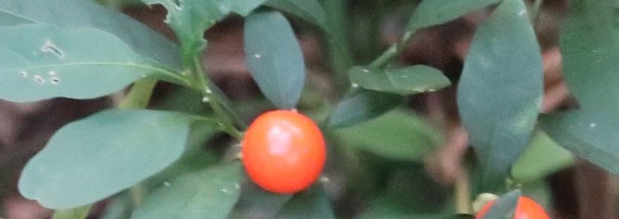 Jerusalem cherry/ タマサンゴ