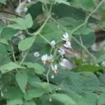 Solanum lyratum/ ヒヨドリジョウゴ 花の咲いている様子