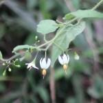 Solanum lyratum/ ヒヨドリジョウゴ