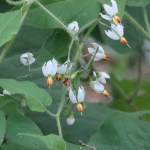Solanum lyratum/ ヒヨドリジョウゴ 花の様子