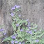 Bluebeard/ ハナシキブ 花の咲いている様子