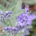Bluebeard/ ハナシキブ 花の姿