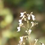 Rabdosia japonica/ ヒキオコシ