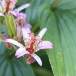 Taiwanese toad lily/ タイワンホトトギス 花の姿