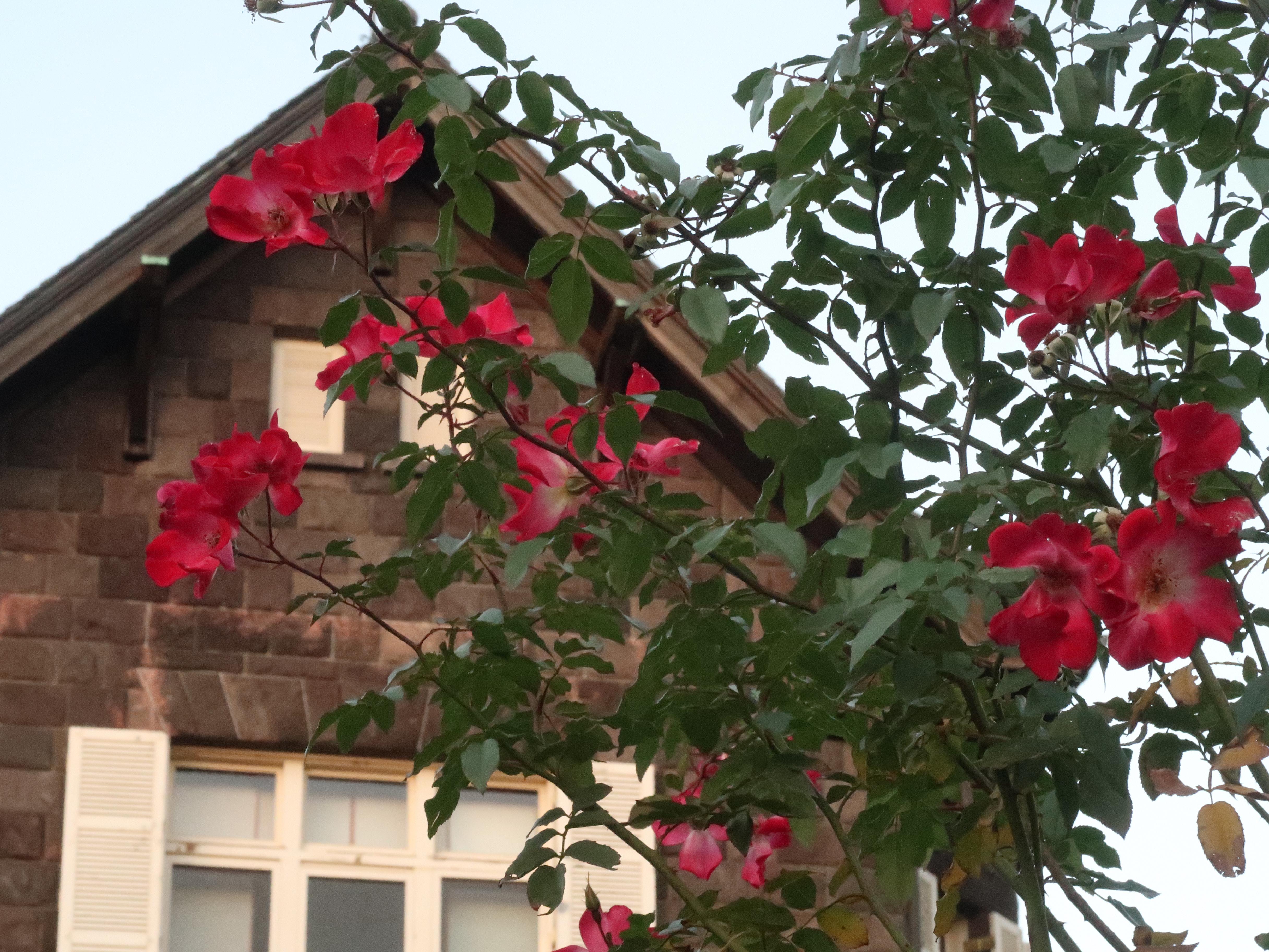 旧古河庭園 バラと洋館